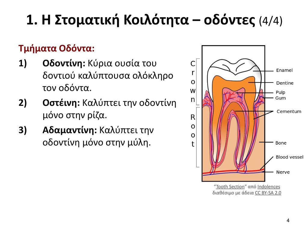 2. Έδαφος στόματος (1/3) Σχηματίζεται από τη γλώσσα