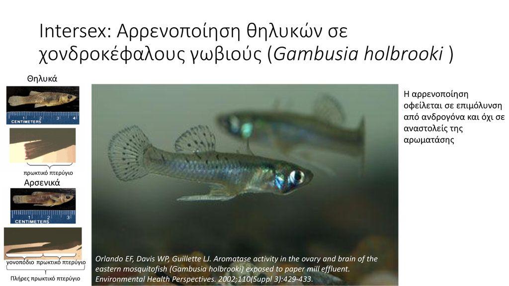 Intersex: Αρρενοποίηση θηλυκών σε χονδροκέφαλους γωβιούς (Gambusia holbrooki )