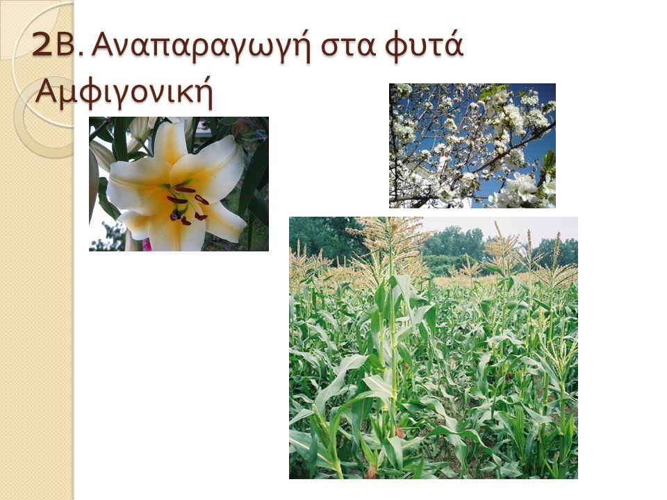 2Β. Αναπαραγωγή στα φυτά Αμφιγονική