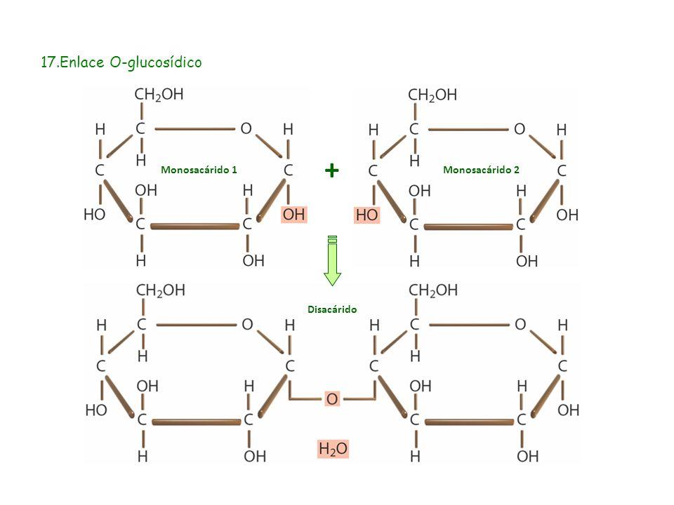 17.Enlace O-glucosídico + Monosacárido 1 Monosacárido 2 Disacárido