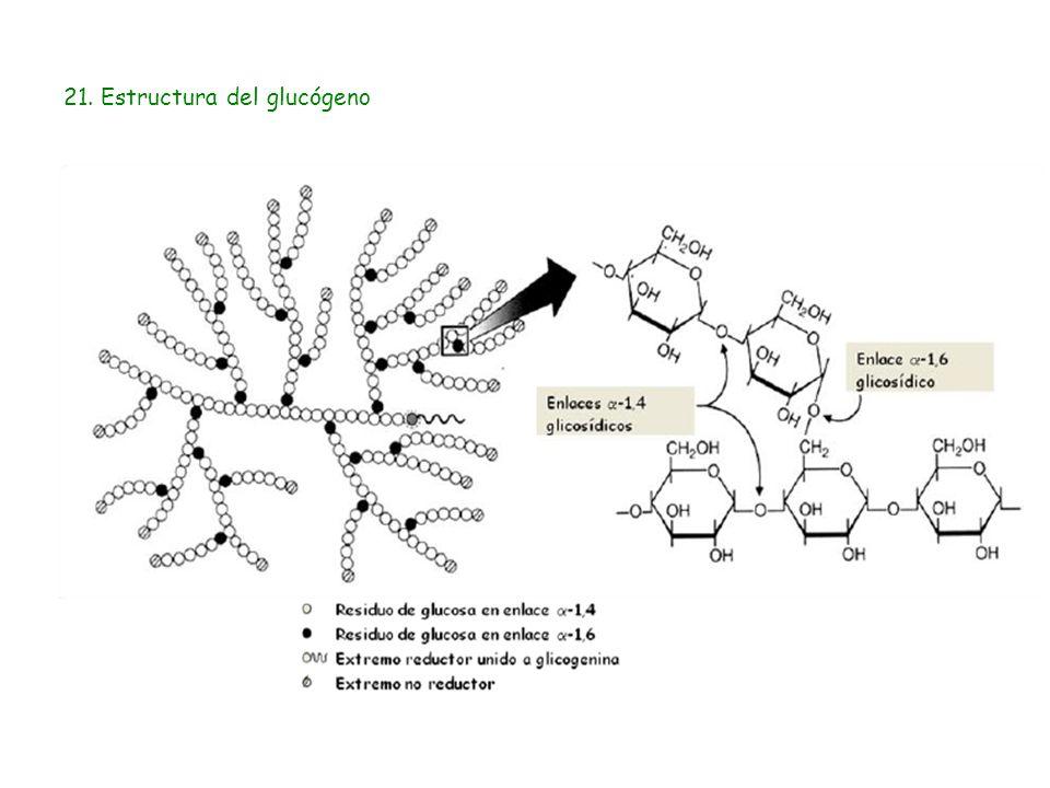 21. Estructura del glucógeno