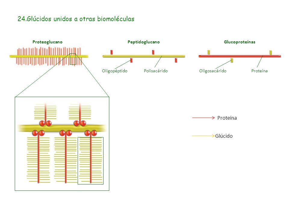 24.Glúcidos unidos a otras biomoléculas