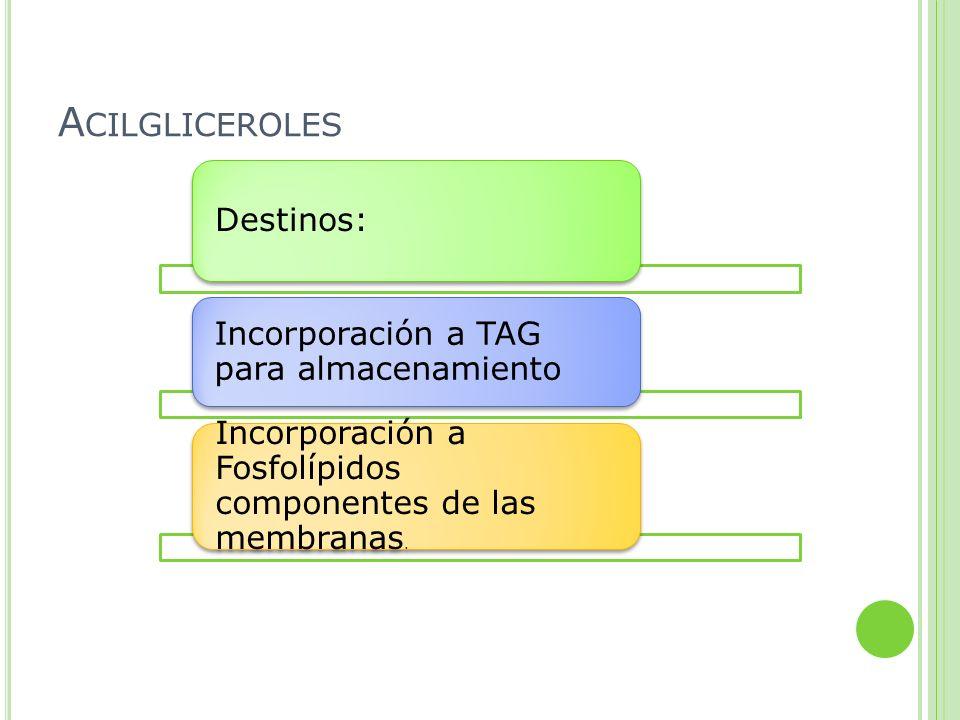 Acilgliceroles Destinos: Incorporación a TAG para almacenamiento.