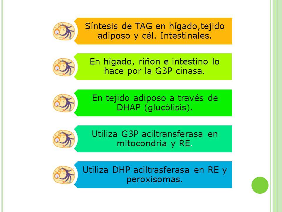 Síntesis de TAG en hígado,tejido adiposo y cél. Intestinales.