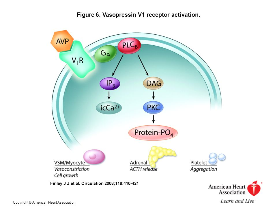 Figure 6. Vasopressin V1 receptor activation.