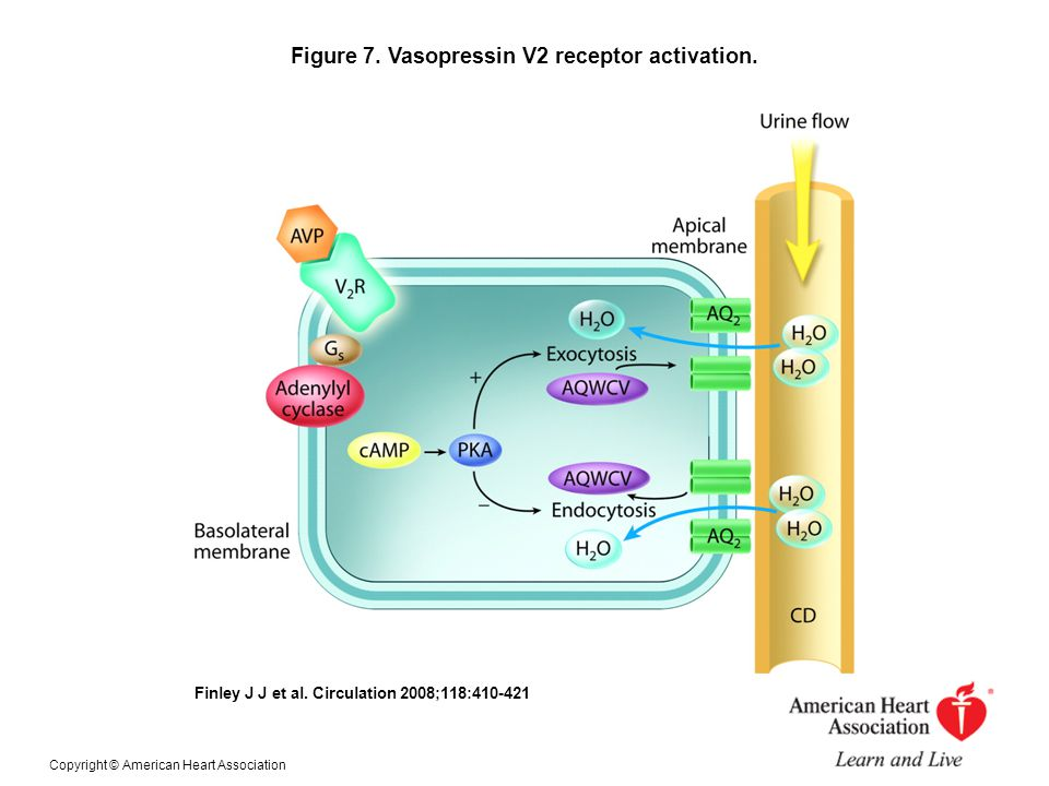 Figure 7. Vasopressin V2 receptor activation.