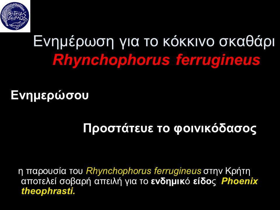 Ενημέρωση για το κόκκινο σκαθάρι Rhynchophorus ferrugineus