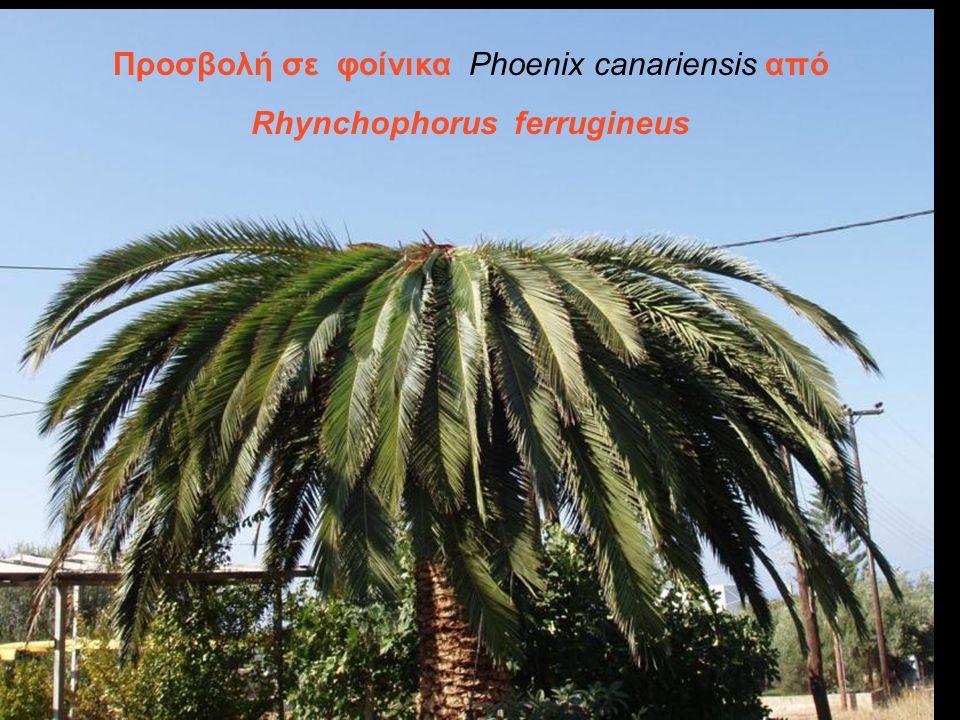 Προσβολή σε φοίνικα Phoenix canariensis από Rhynchophorus ferrugineus