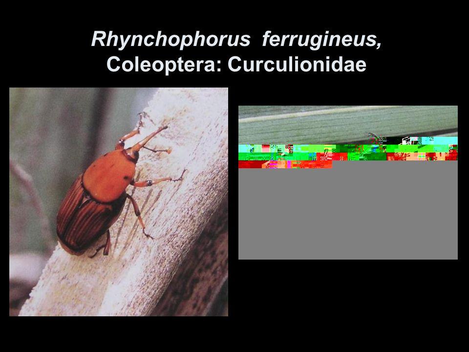 Rhynchophorus ferrugineus, Coleoptera: Curculionidae