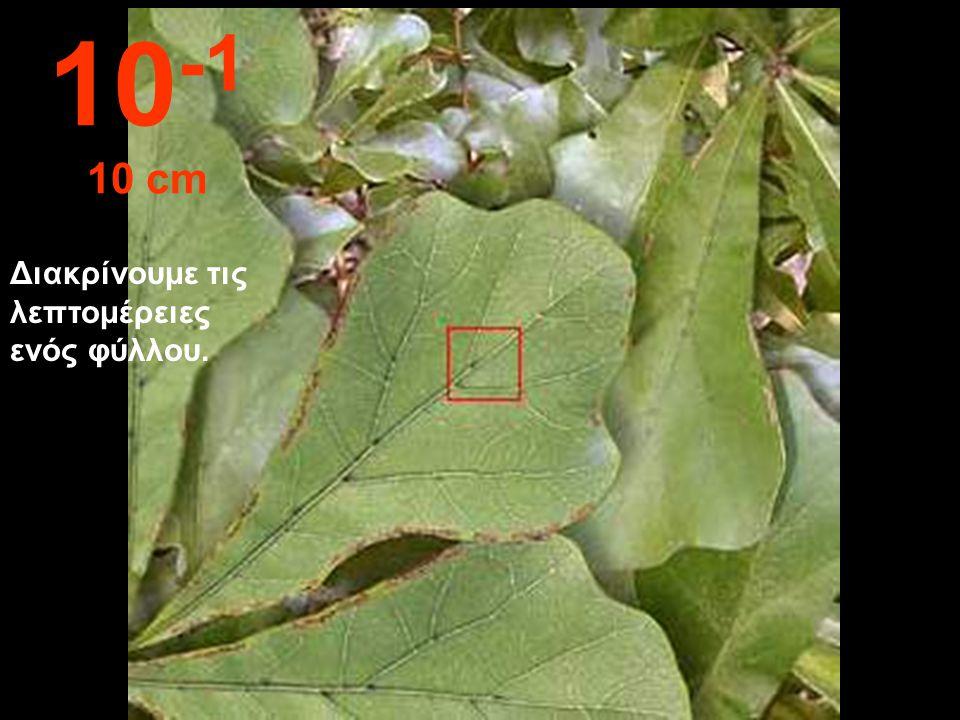 10-1 10 cm Διακρίνουμε τις λεπτομέρειες ενός φύλλου.