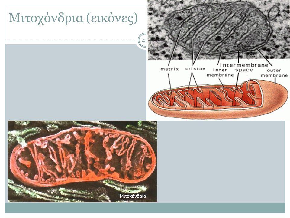 Μιτοχόνδρια (εικόνες)
