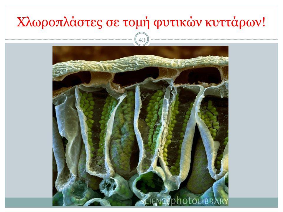 Χλωροπλάστες σε τομή φυτικών κυττάρων!