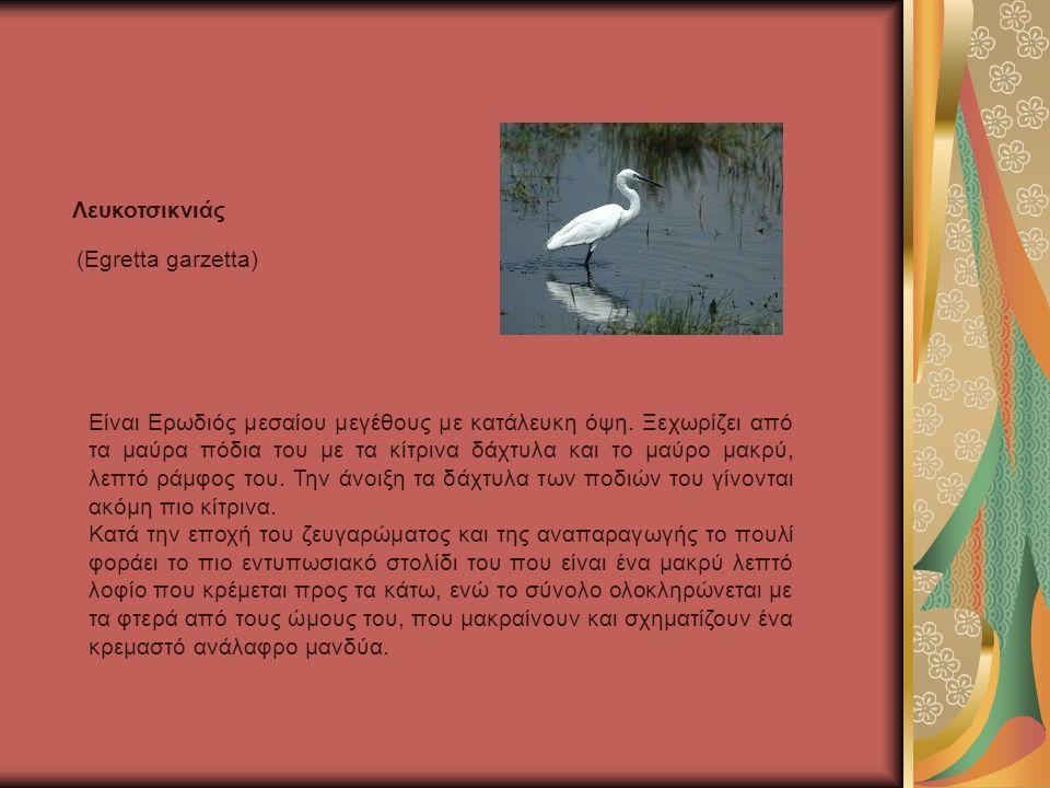 (Egretta garzetta) Λευκοτσικνιάς