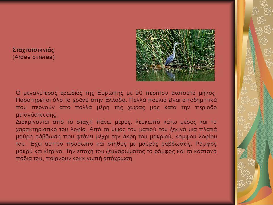 Σταχτοτσικνιάς (Ardea cinerea)