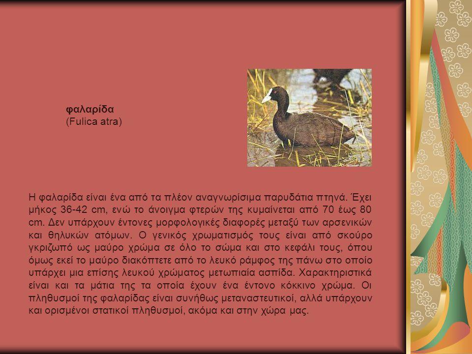 φαλαρίδα (Fulica atra)