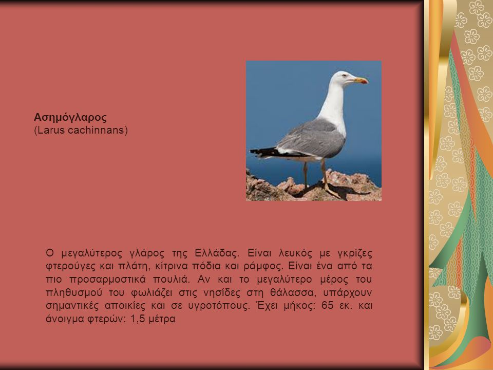 Ασημόγλαρος (Larus cachinnans)