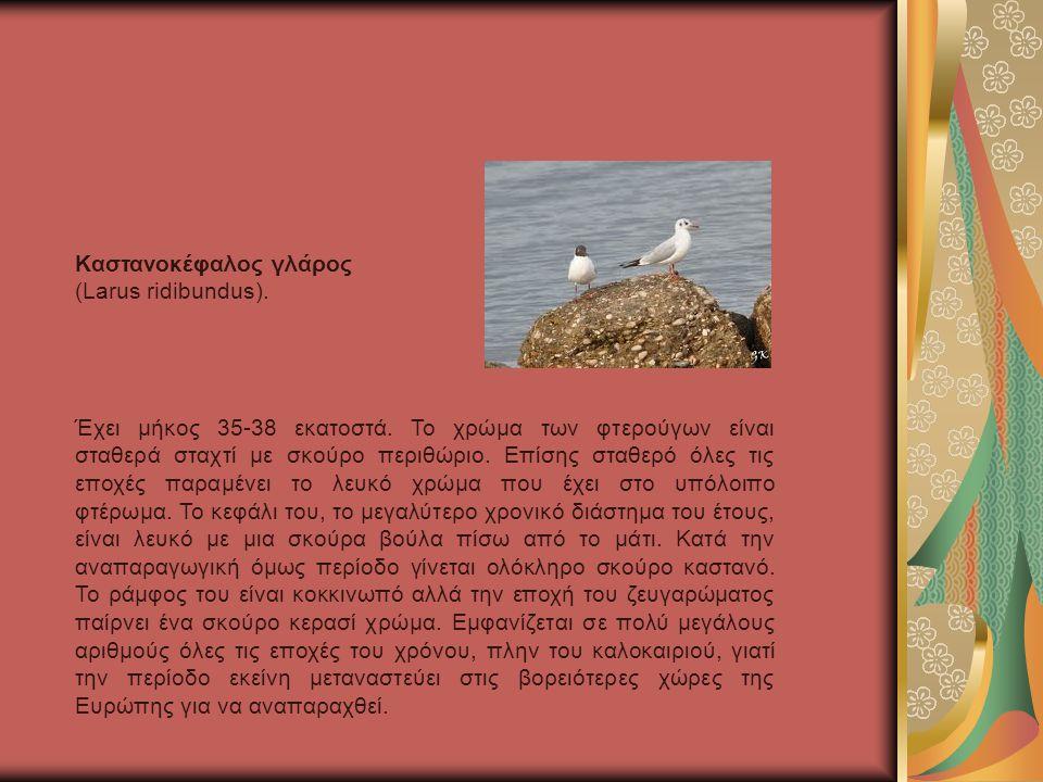 Καστανοκέφαλος γλάρος