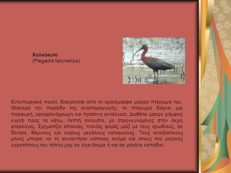 Χαλκόκοτα (Plegadis falcinellus)