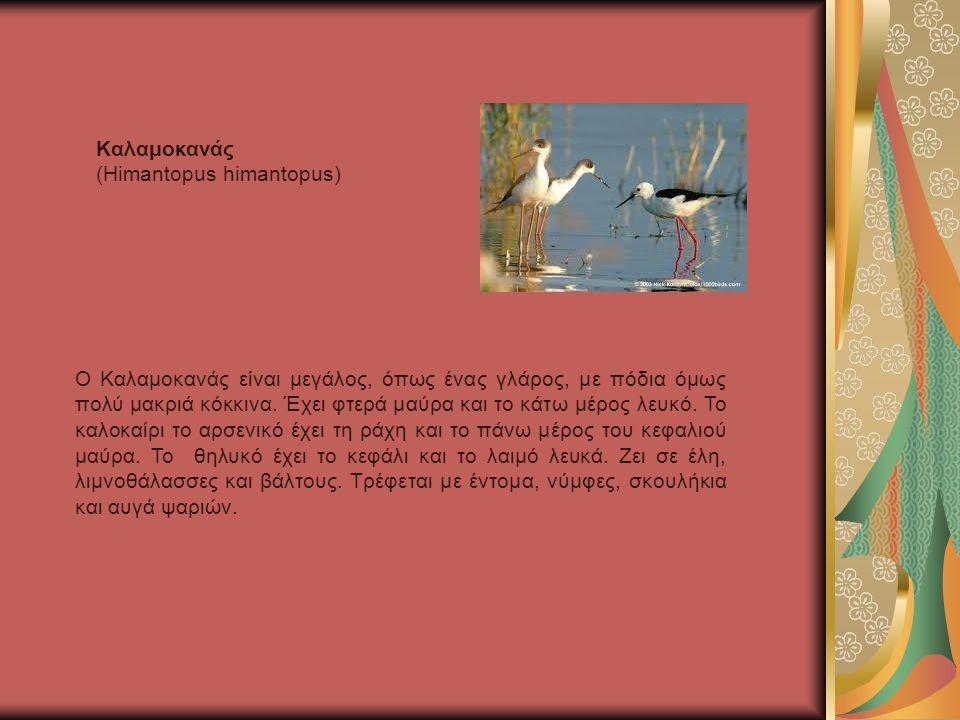 Καλαμοκανάς (Himantopus himantopus)