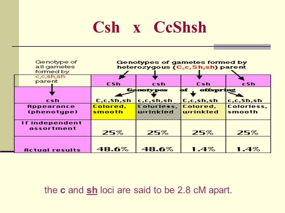 Csh x CcShsh the c and sh loci are said to be 2.8 cM apart.