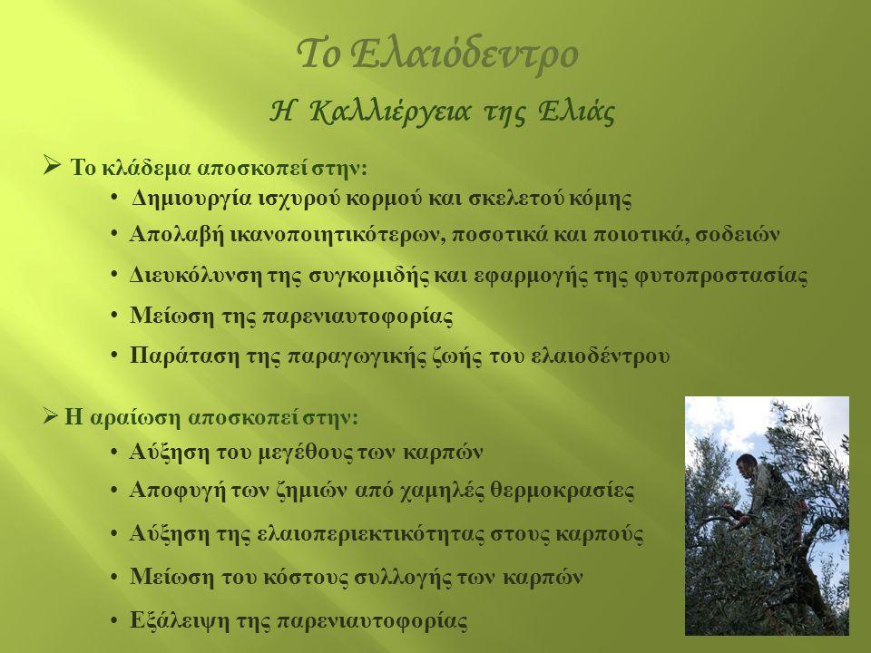 H Καλλιέργεια της Ελιάς