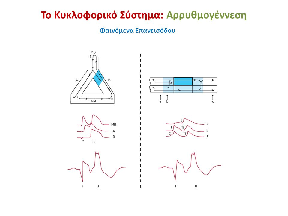 Το Κυκλοφορικό Σύστημα: Αρρυθμογέννεση