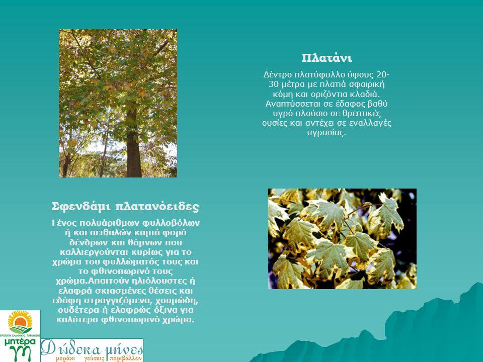Σφενδάμι πλατανόειδες