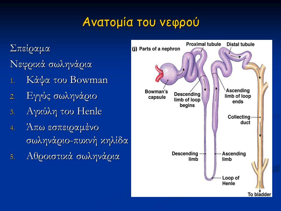 Ανατομία του νεφρού Σπείραμα Νεφρικά σωληνάρια Κάψα του Bowman