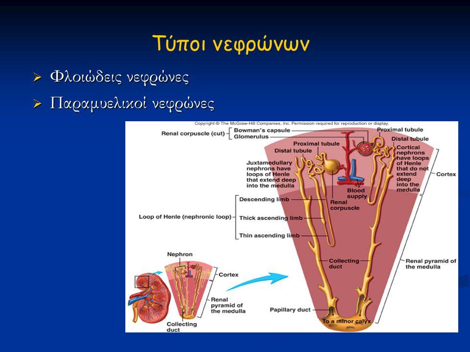 Τύποι νεφρώνων Φλοιώδεις νεφρώνες Παραμυελικοί νεφρώνες