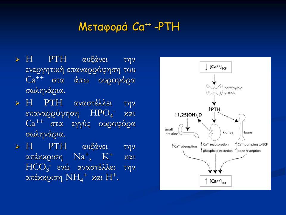 Μεταφορά Ca++ -PTH Η PTH αυξάνει την ενεργητική επαναρρόφηση του Ca++ στα άπω ουροφόρα σωληνάρια.