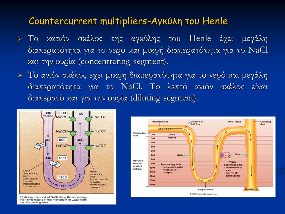 Countercurrent multipliers-Αγκύλη του Ηenle