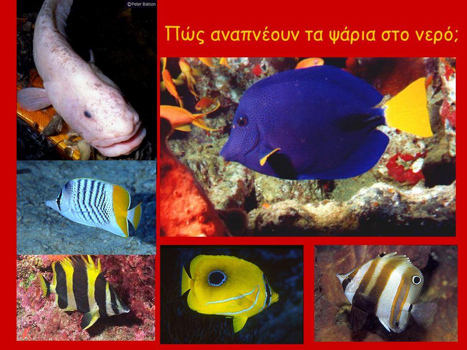 Πώς αναπνέουν τα ψάρια στο νερό;