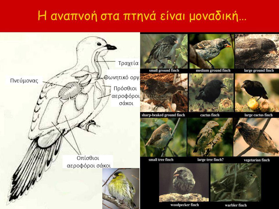 Η αναπνοή στα πτηνά είναι μοναδική…