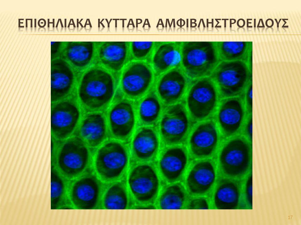 Επιθηλιακα κυτταρα αμφιβληστροειδουσ