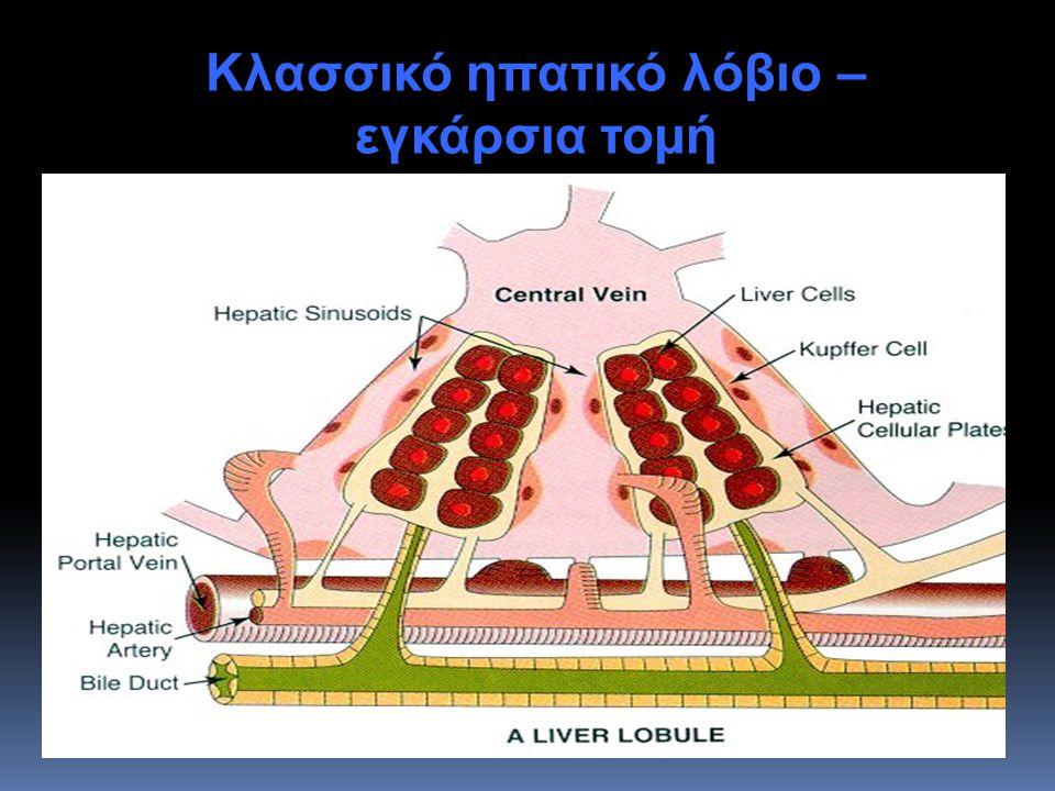 Κλασσικό ηπατικό λόβιο –εγκάρσια τομή