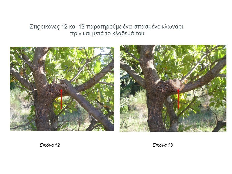 Στις εικόνες 12 και 13 παρατηρούμε ένα σπασμένο κλωνάρι