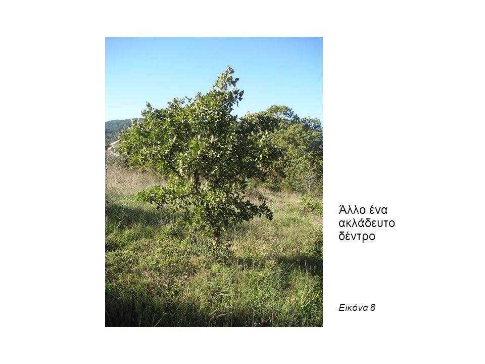 Άλλο ένα ακλάδευτο δέντρο