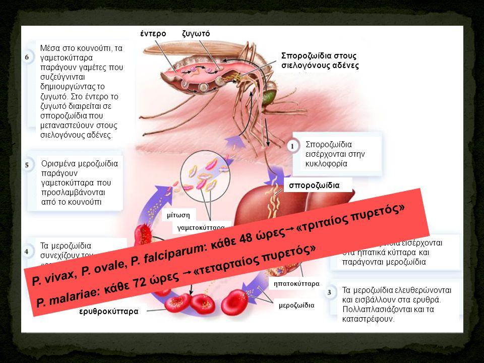 P. vivax, P. ovale, P. falciparum: κάθε 48 ώρες«τριταίος πυρετός»