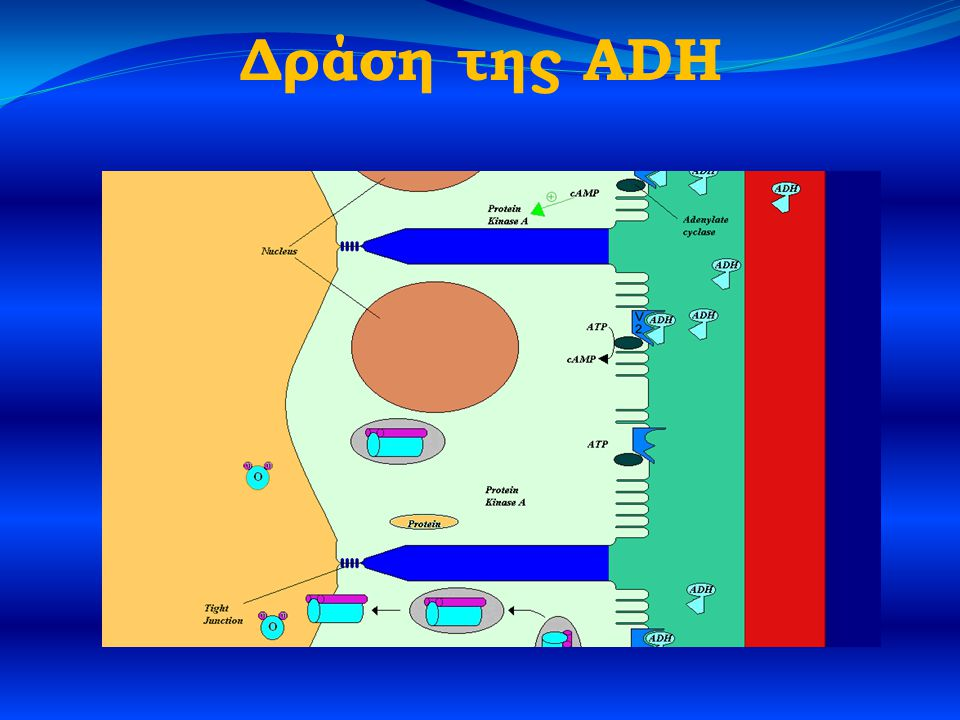 Δράση της ADH