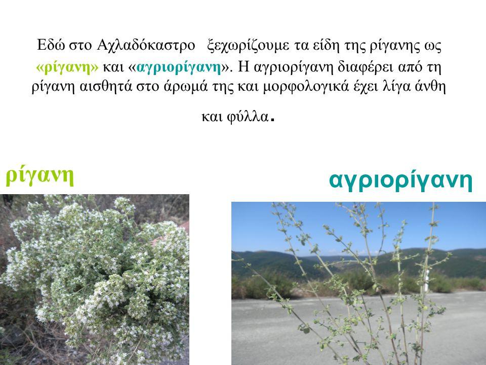 Εδώ στο Αχλαδόκαστρο ξεχωρίζουμε τα είδη της ρίγανης ως «ρίγανη» και «αγριορίγανη». Η αγριορίγανη διαφέρει από τη ρίγανη αισθητά στο άρωμά της και μορφολογικά έχει λίγα άνθη και φύλλα.
