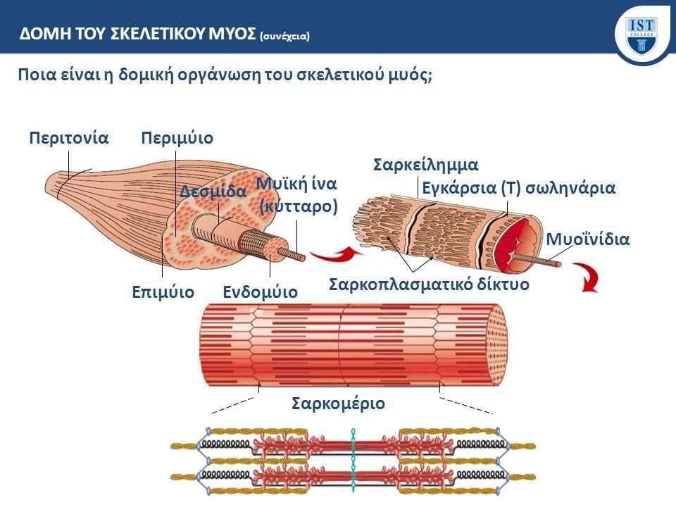 Εγκάρσια (Τ) σωληνάρια Σαρκοπλασματικό δίκτυο