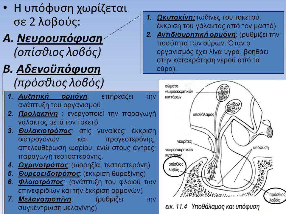 Η υπόφυση χωρίζεται σε 2 λοβούς: Νευρουπόφυση (οπίσθιος λοβός)