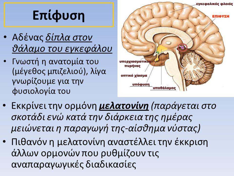 Επίφυση Αδένας δίπλα στον θάλαμο του εγκεφάλου