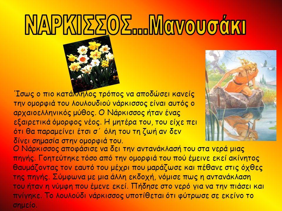 ΝΑΡΚΙΣΣΟΣ...Μανουσάκι