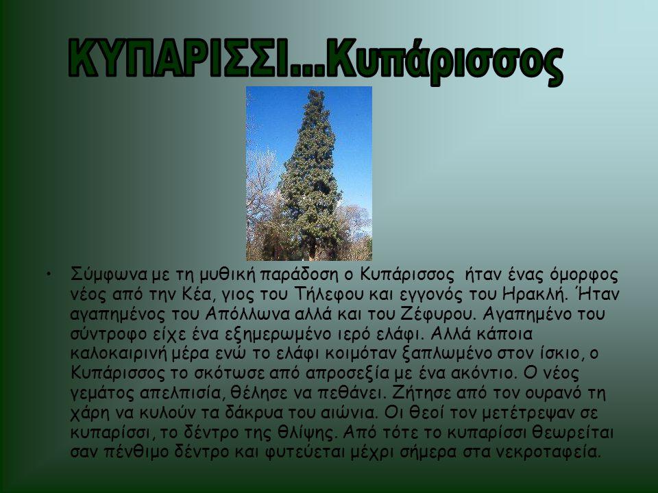 ΚΥΠΑΡΙΣΣΙ...Κυπάρισσος
