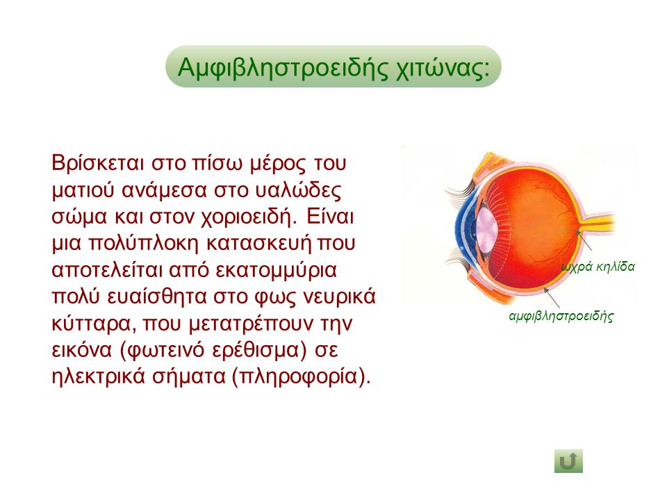 Αμφιβληστροειδής χιτώνας: