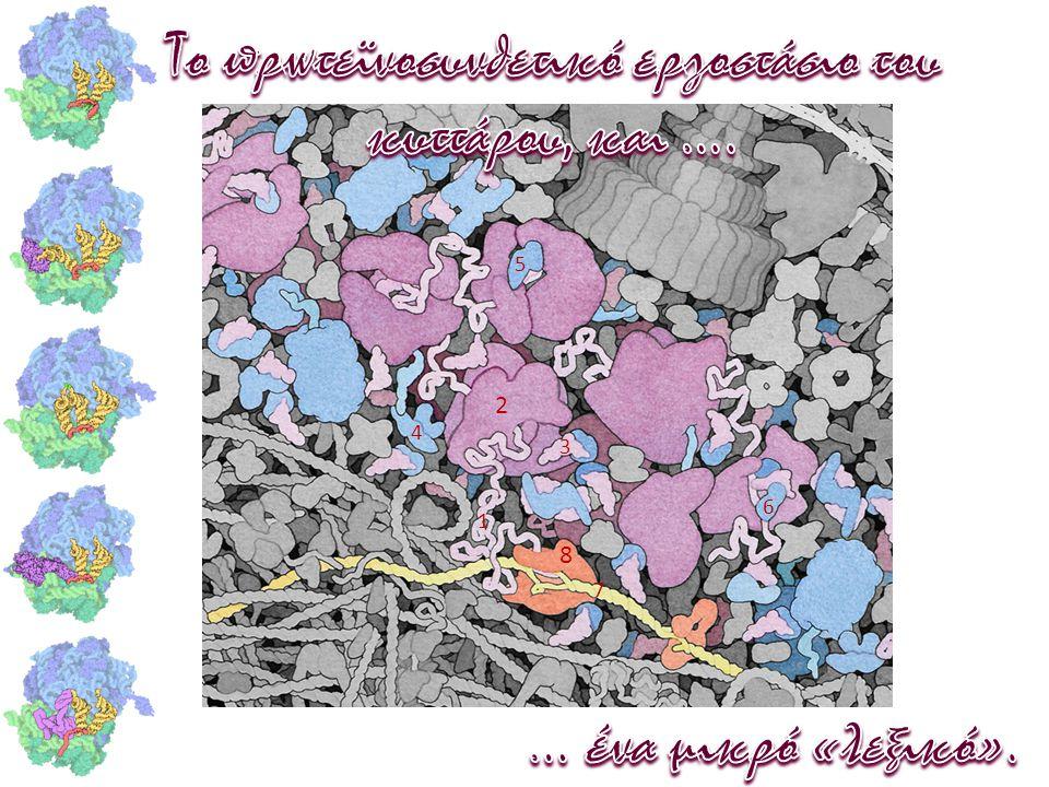 Το πρωτεϊνοσυνθετικό εργοστάσιο του κυττάρου, και ….