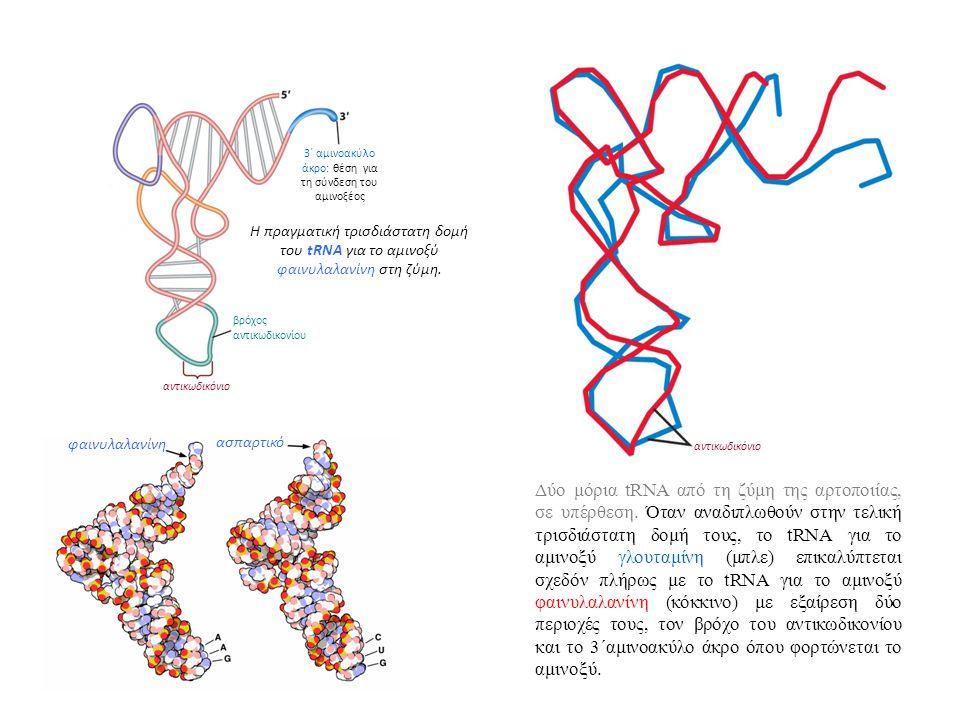 3΄ αμινοακύλo άκρο: θέση για τη σύνδεση του αμινοξέος