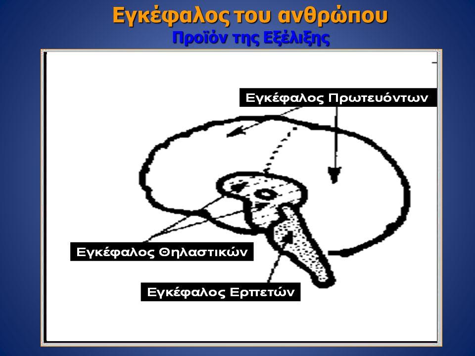 Εγκέφαλος του ανθρώπου Προϊόν της Εξέλιξης