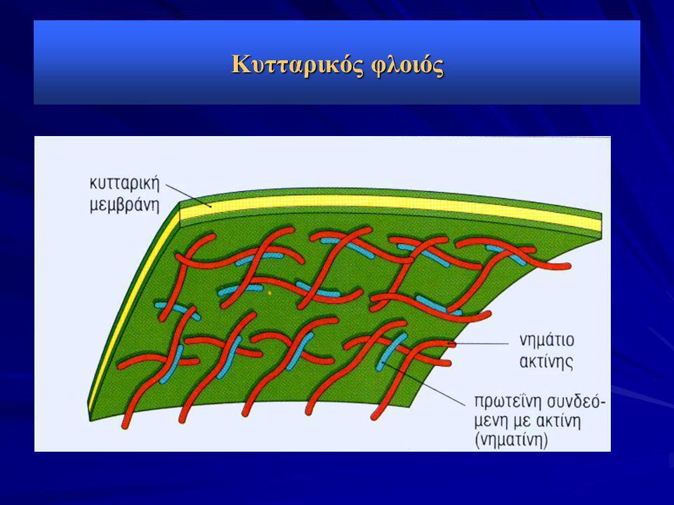 Κυτταρικός φλοιός